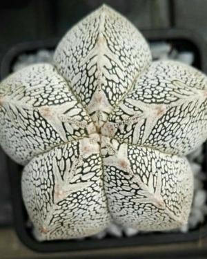 Astrophytum Myriostigma cv. ONZUKA Cactus Seeds