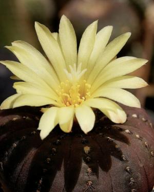 Frailea Asteroides Cactus Seeds
