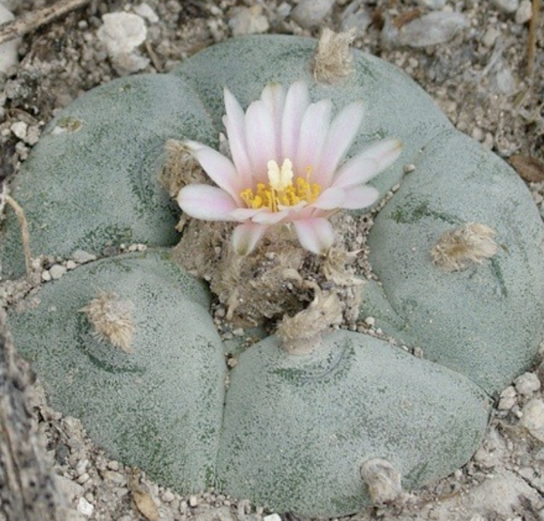 Lophophora Mixed Variety Cactus Seeds