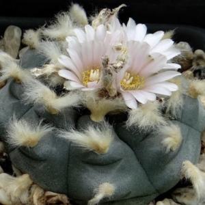 Lophophora Williamsii Var. Pluricostata Cactus Seed