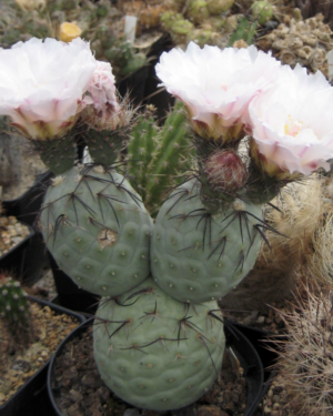 Tephrocactus Geometricus Cactus Seeds
