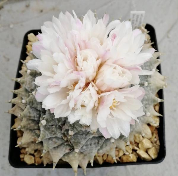 Ariocarpus Furfuraceus Cactus Seeds