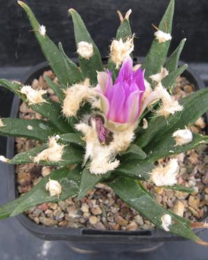 Ariocarpus Agavoides Cactus Seeds