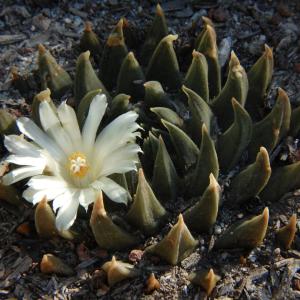 Ariocarpus Trigonus Cactus Seeds