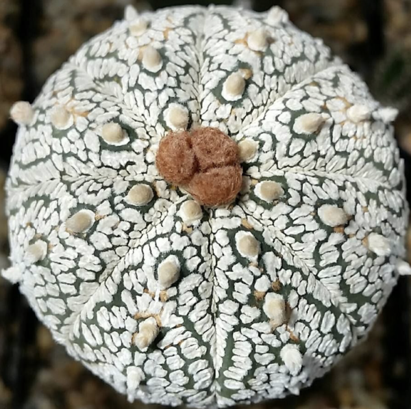 Astrophytum cv. Superkabuto Cactus Seeds