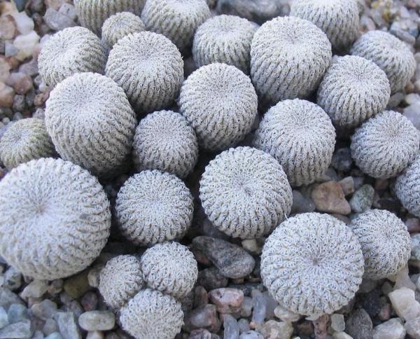 Epithelantha Micromeris Cactus Seeds