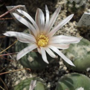 Lophophora Alberto-Vojtechii Cactus Seeds