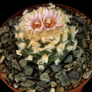 Lophophora Diffusa v. Koehresii Cactus Seeds