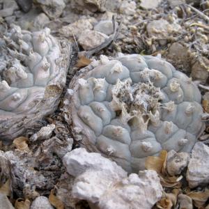 Lophophora Sp. Cuatro Cienegas Cactus Seeds