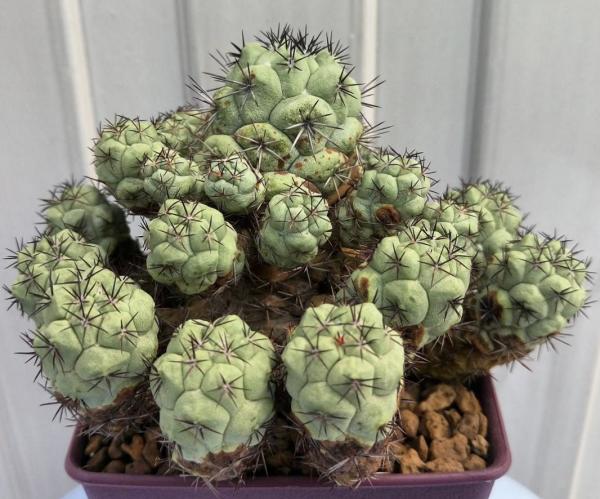 Ortegocactus Macdougallii Cactus Seeds