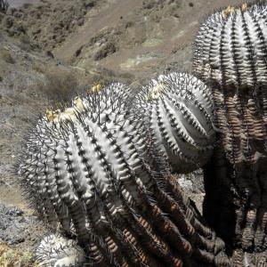 Copiapoa Cinerea Cactus Seeds