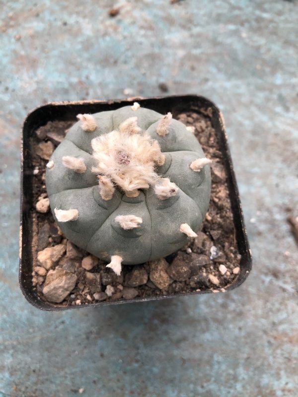 Lophophora Williamsii Cactus