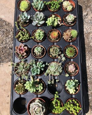 Mini Succulent Mix