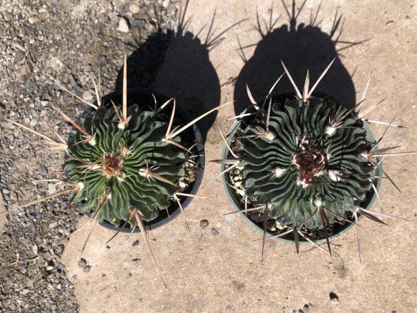 Echinofossulocactus Multicostatus   Stenocactus Cactus