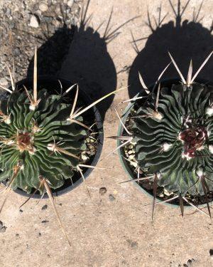 Echinofossulocactus Multicostatus | Stenocactus Cactus