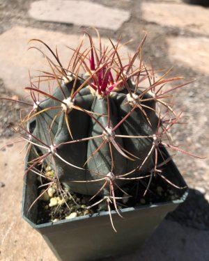 Ferocactus Emoryi Cactus