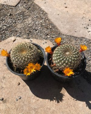 Sulcorebutia Arenacea Cactus