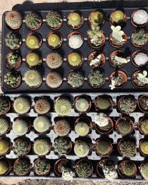 mini cactus mix
