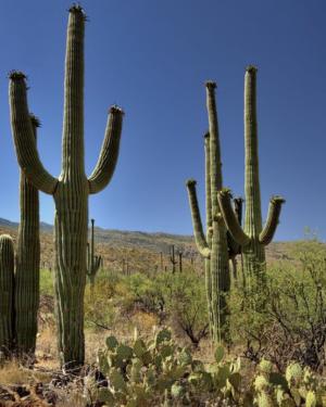 Carnegiea Gigantea | Giant Saguaro Cactus