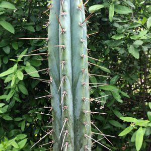 Peruvian Torch Cactus