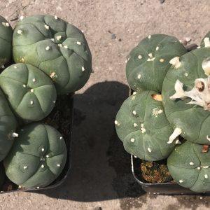 Lophophora Williamsii Var. Caespitosa Cactus