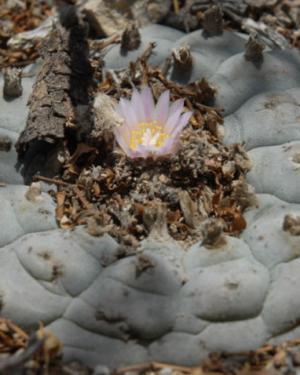 Lophophora Williamsii Var. Big Bend
