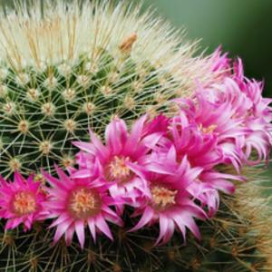 Mammillaria Cactus Succulent Seed Mix