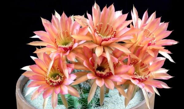 Lobivia Cactus Succulent Seed Mix