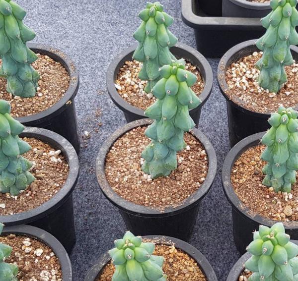 Myrtillocactus Geometrizans Cactus