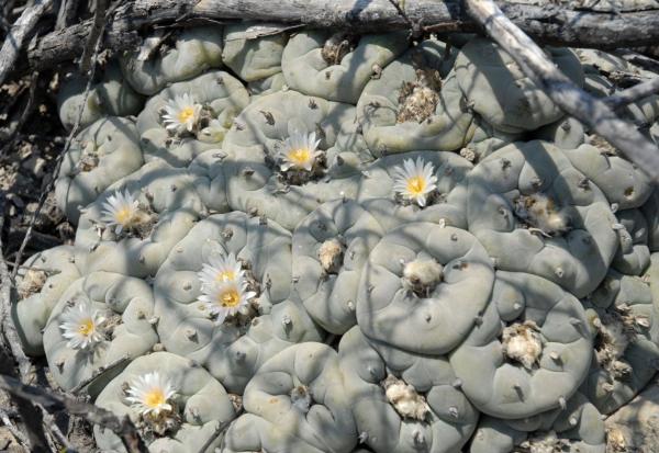Lophophora Diffusa Vizaron Cactus Seeds