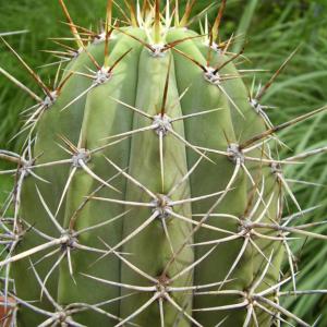 Trichocereus Boliviensis Cactus Seeds