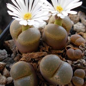Conophytum Friedrichiae Succulent Seeds
