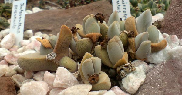 Dinteranthus Microspermus Puberulus Succulent Seeds