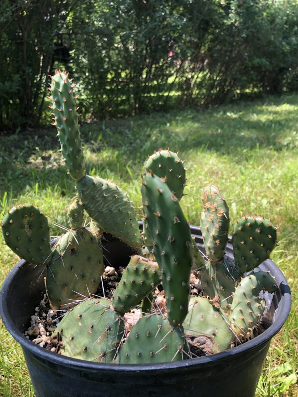 Cold Hardy Prickly Pear Opuntia Cactus | Large Pad