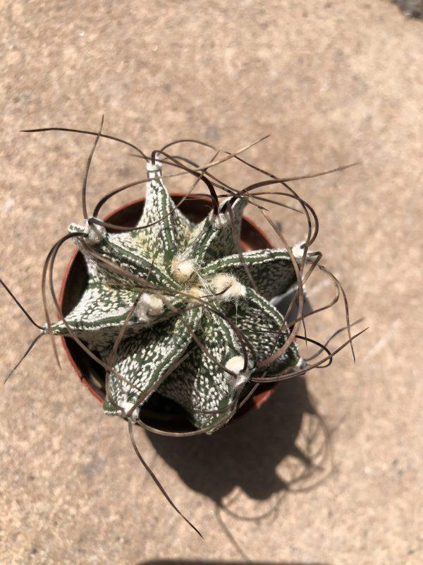 Astrophytum Capricorne Cactus