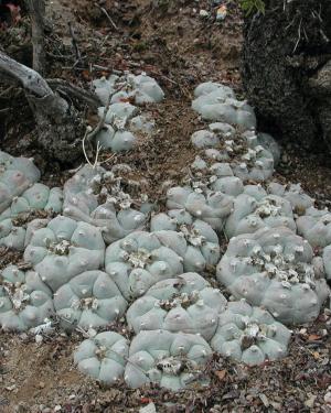 Lophophora Williamsii v Real De Catorce Cactus Seeds
