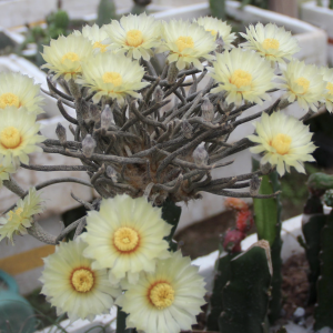 Astrophytum Caput Medusae Cacti Seed