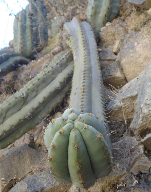 Trichocereus Peruvianus Matucana