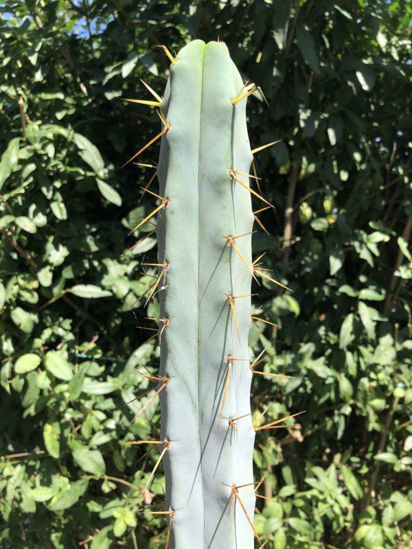 Trichocereus Bridgesii Cactus | Bolivian Torch