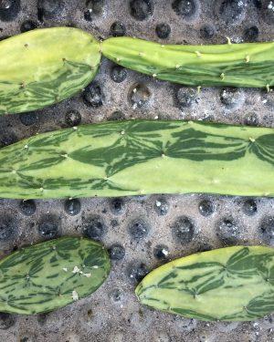 Opuntia Cochenillifera Variegata
