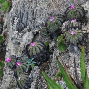 Aztekium Hintonii Cactus Seeds