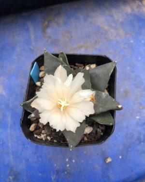 Ariocarpus Retusus var. Furfuraceus Cactus