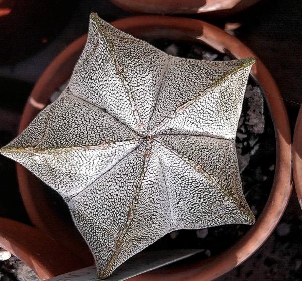 Astrophytum Myriostigma cv. ONZUKA Cactus