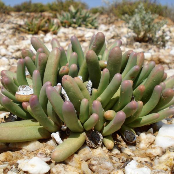 Argyroderma Fissum Mesemb Seeds