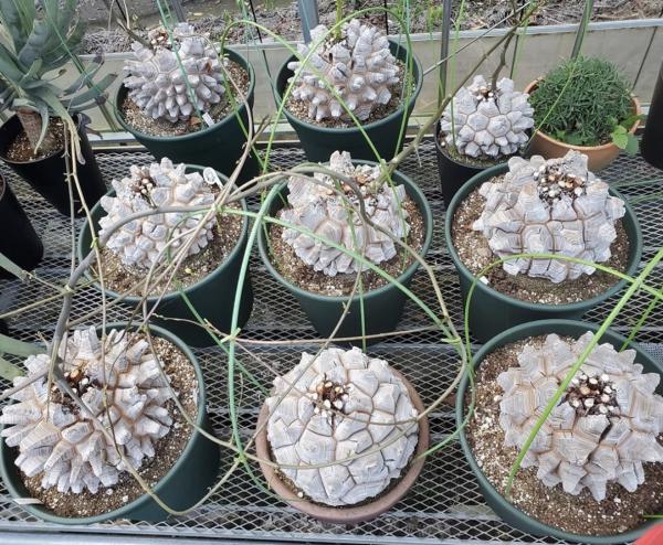 Dioscorea Elephantipes Seeds