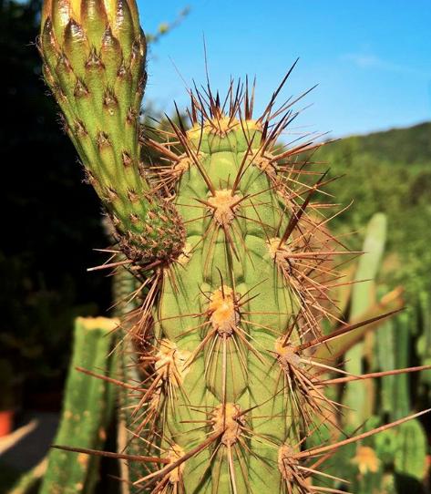 Trichocereus Fulvilanus | Echinopsis Deserticola Cactus Seeds