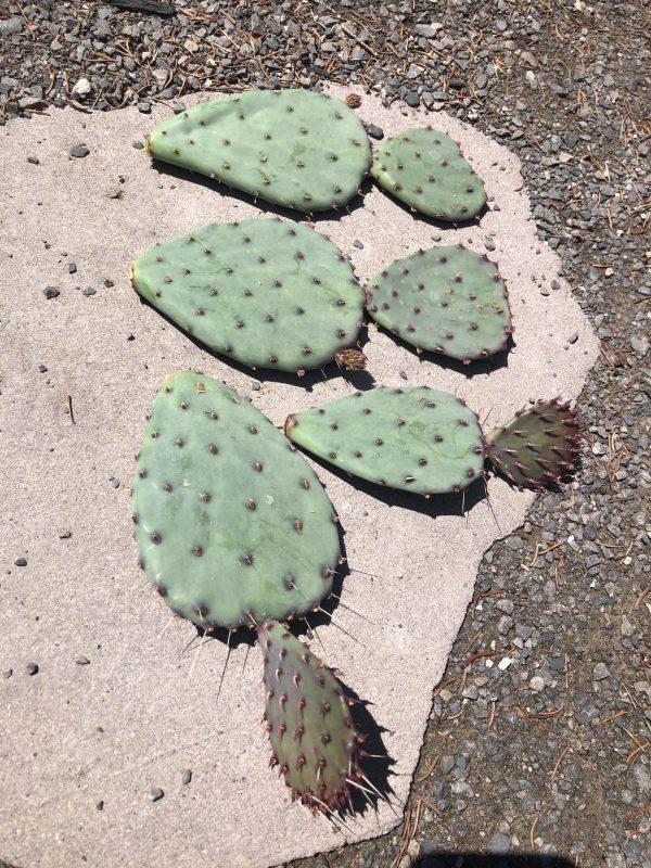 Purple Prickly Pear Cactus   Opuntia Gosseliniana var. Santa-Rita