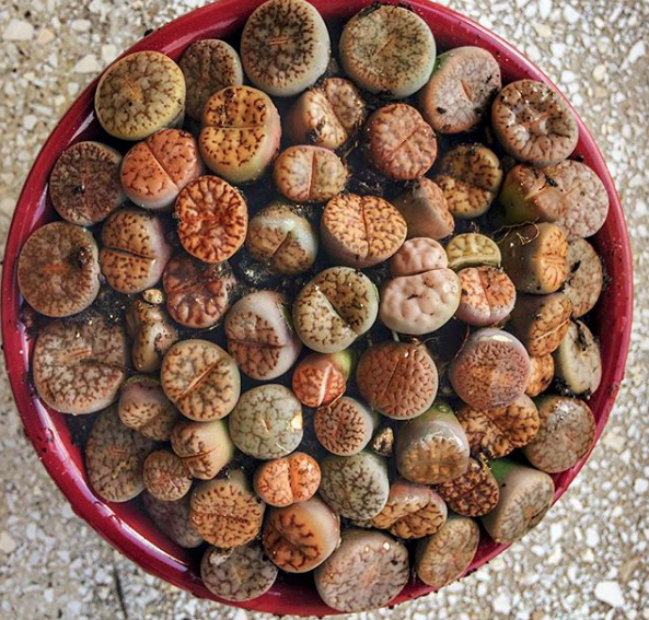 Lithops Lesliei Seeds | Lithops Lesliei Variety Mix
