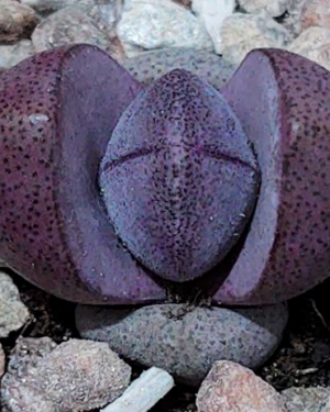 Pleiospilos Nelii cv. Royal Flush | Royal Flush Succulent Seeds