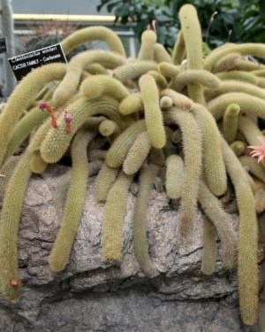 Hildewintera Aureispina Cactus Seeds |Golden Rat Tail Cactus Seed